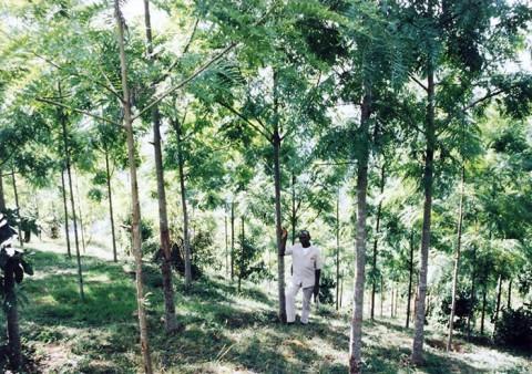植林によりキリマンジャロ山によみがえった林
